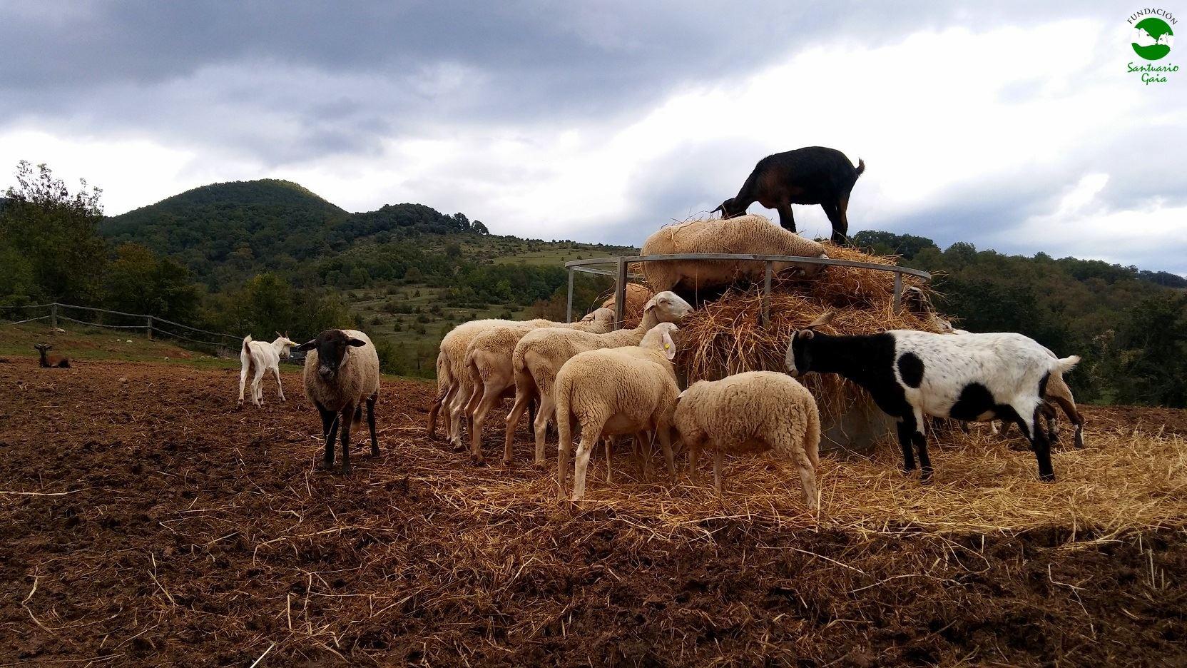 ovejas cabras animales