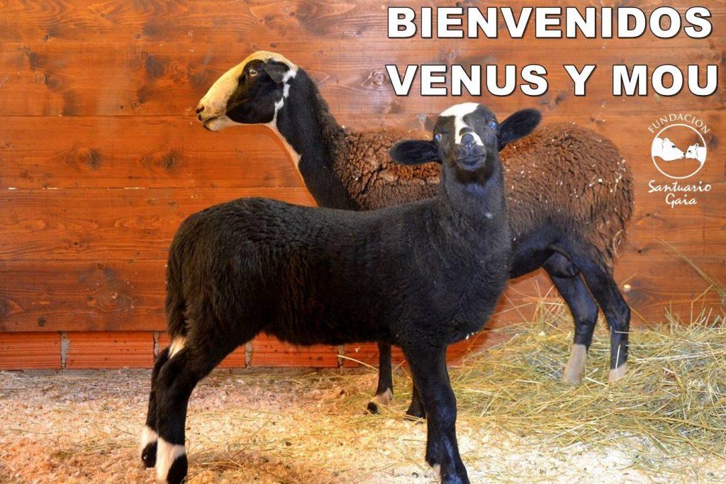 Mou Venus