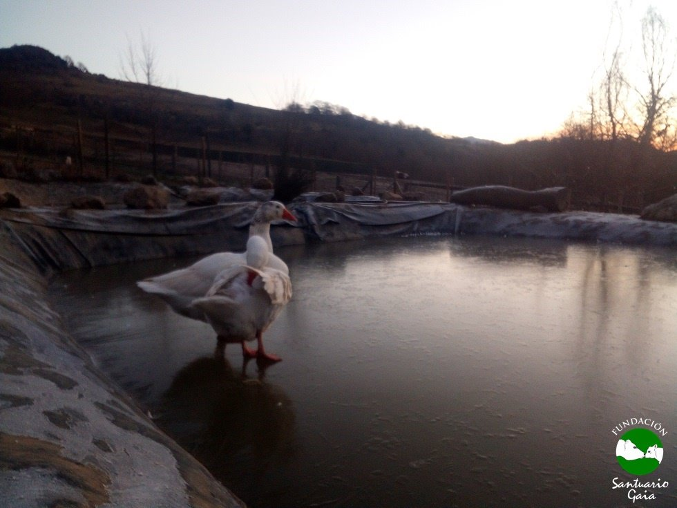 patos ocas hielo