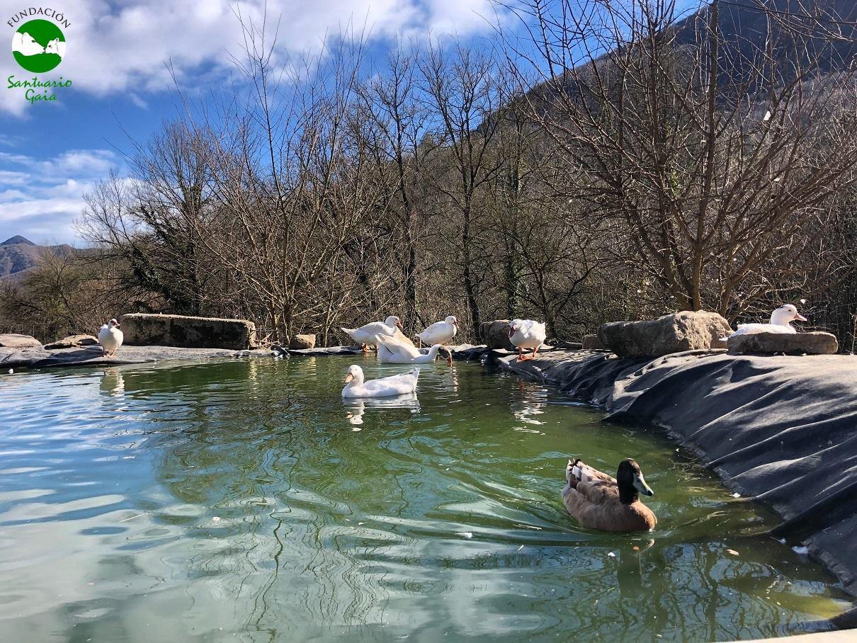 patos ocas estanque