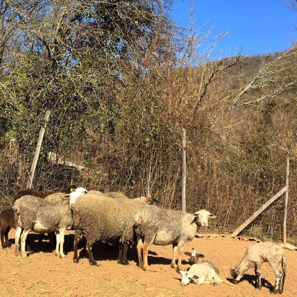 murcia ovejas cordero febrero 2019