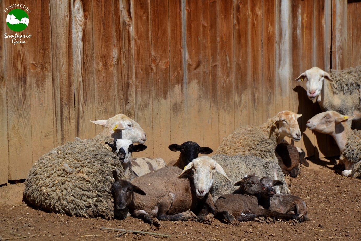 ovejas corderos murcia