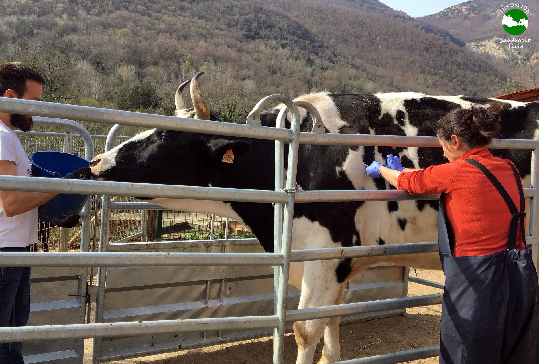 vacas toros vacunas desparasitar