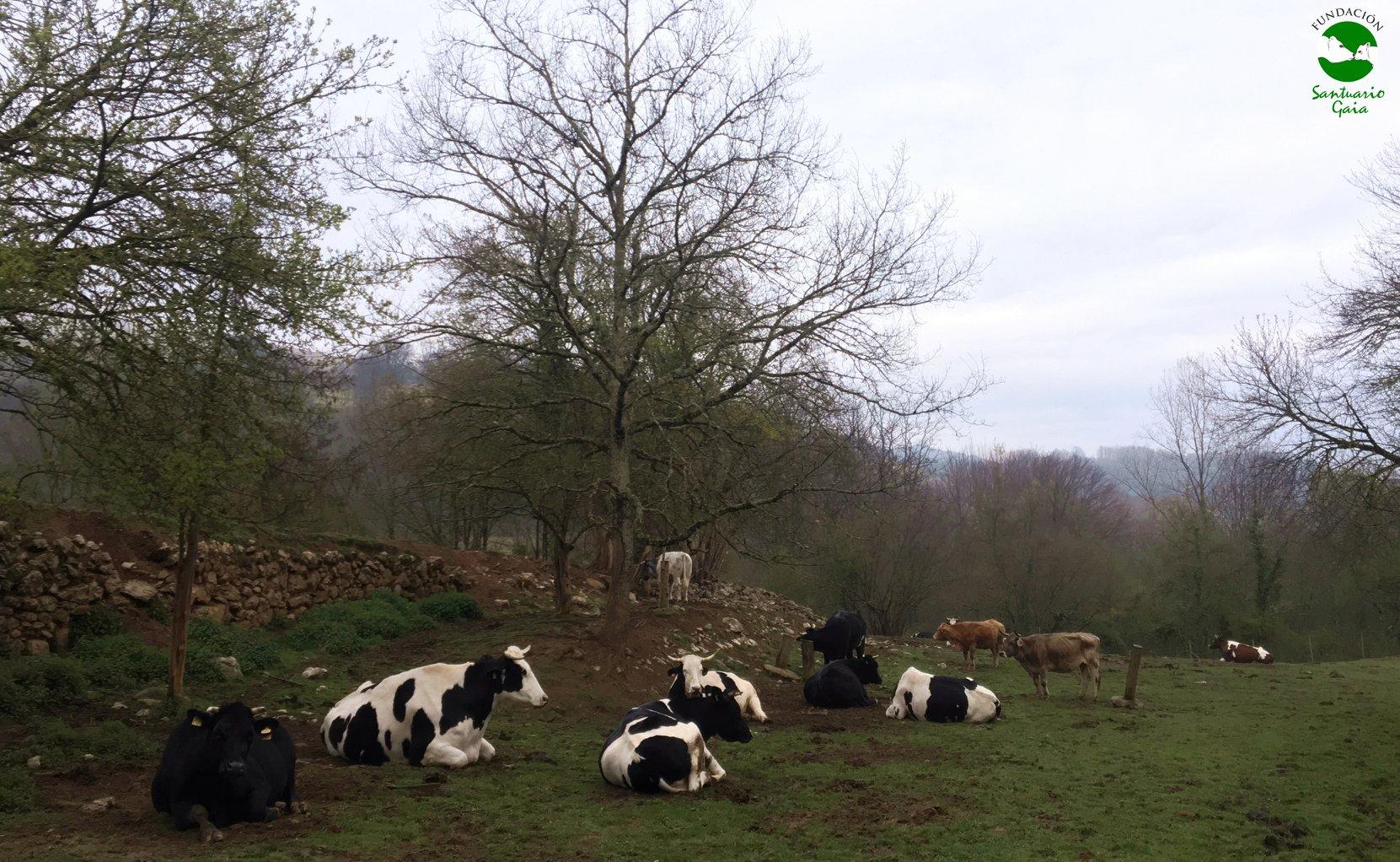 vacas toros