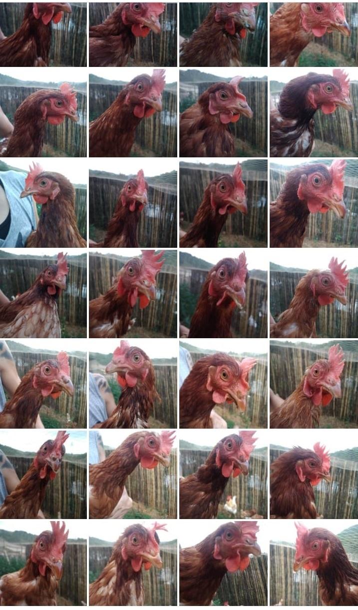 34 gallinas 1 gallo agosto2019
