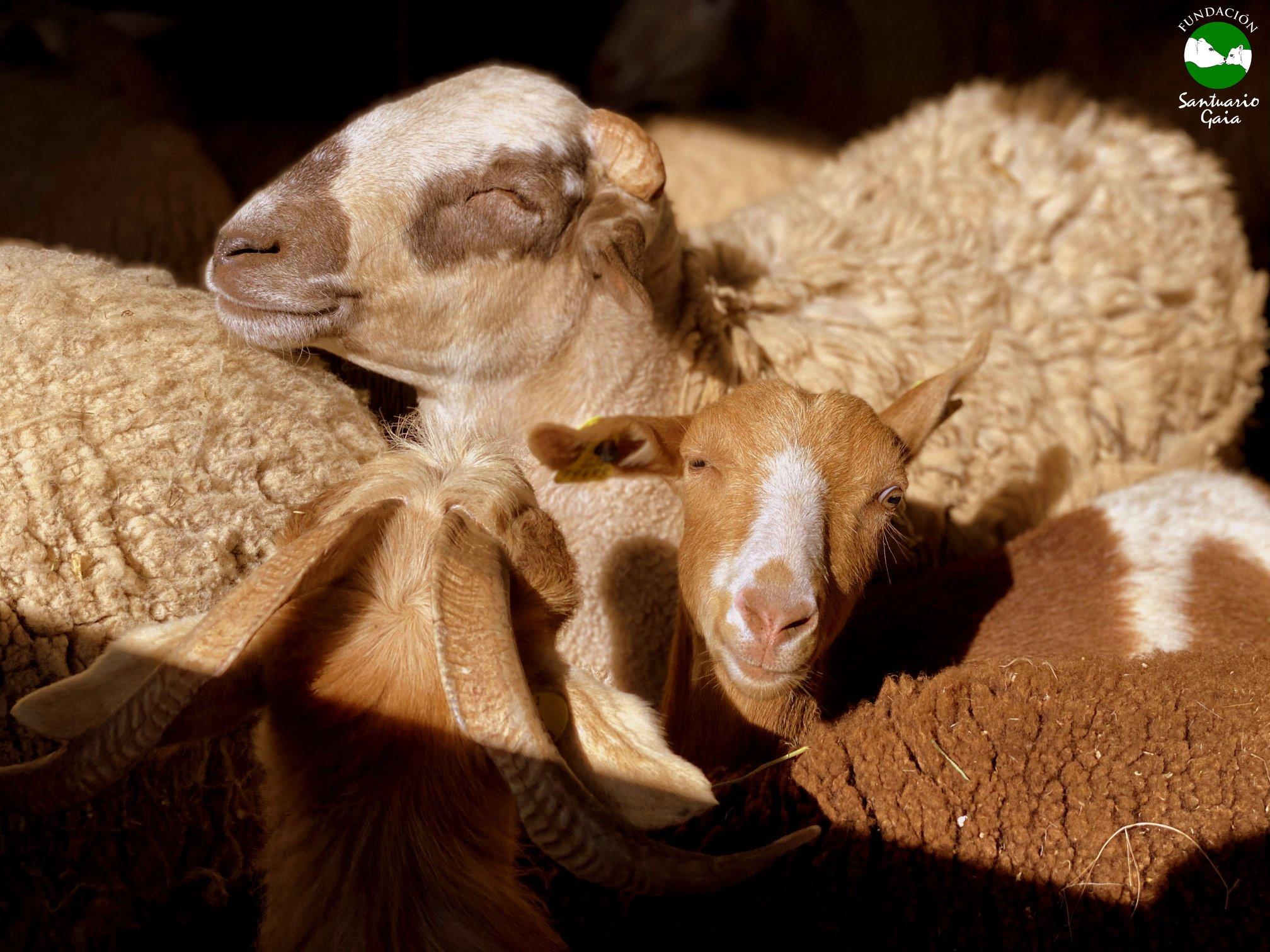 igor norma cabra, carnero,