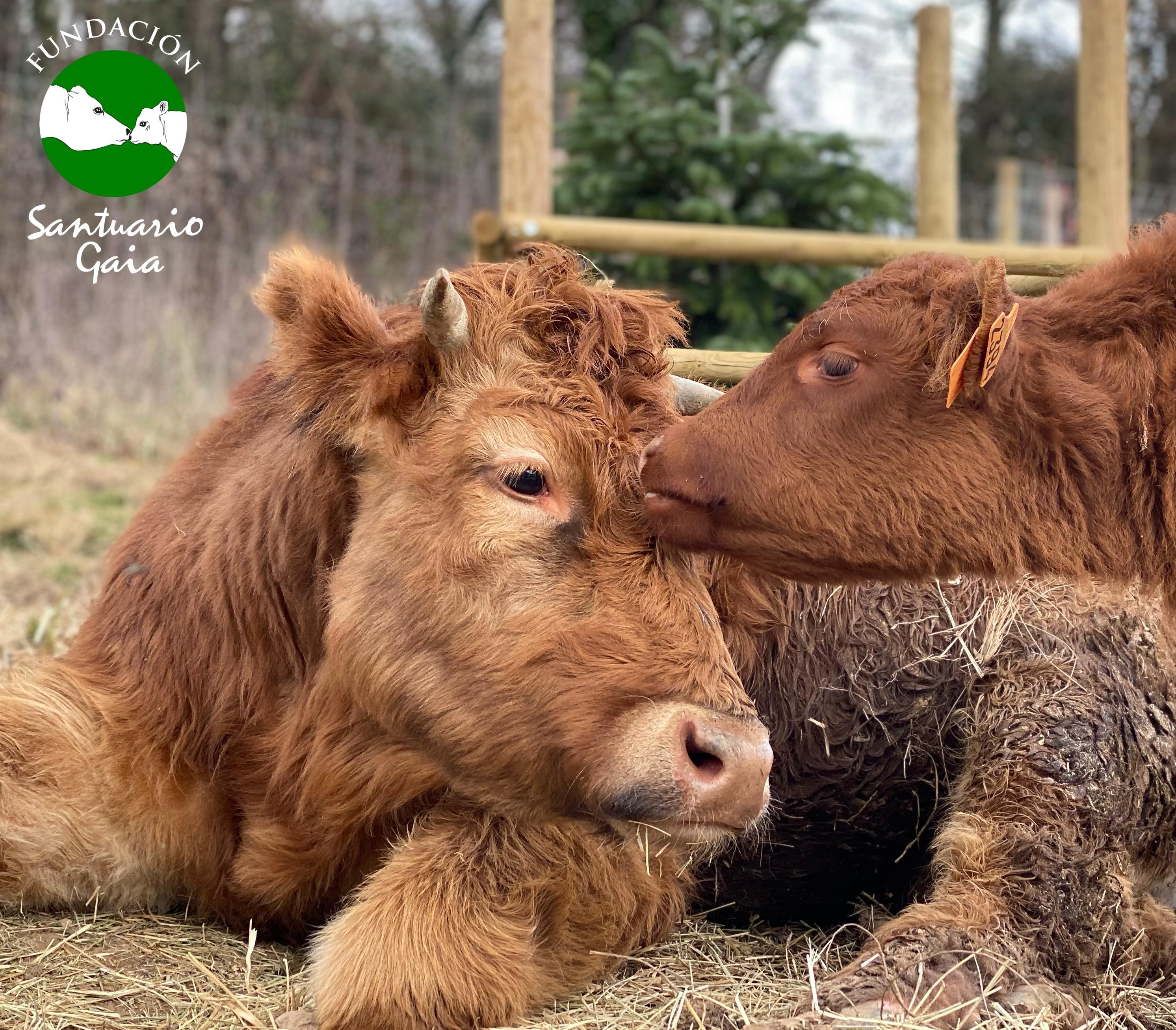 La ternera rescatada Venus y el toro rescatado Stefano se dan cariño en el refugio de animales Santuario Gaia situado en Camprodon