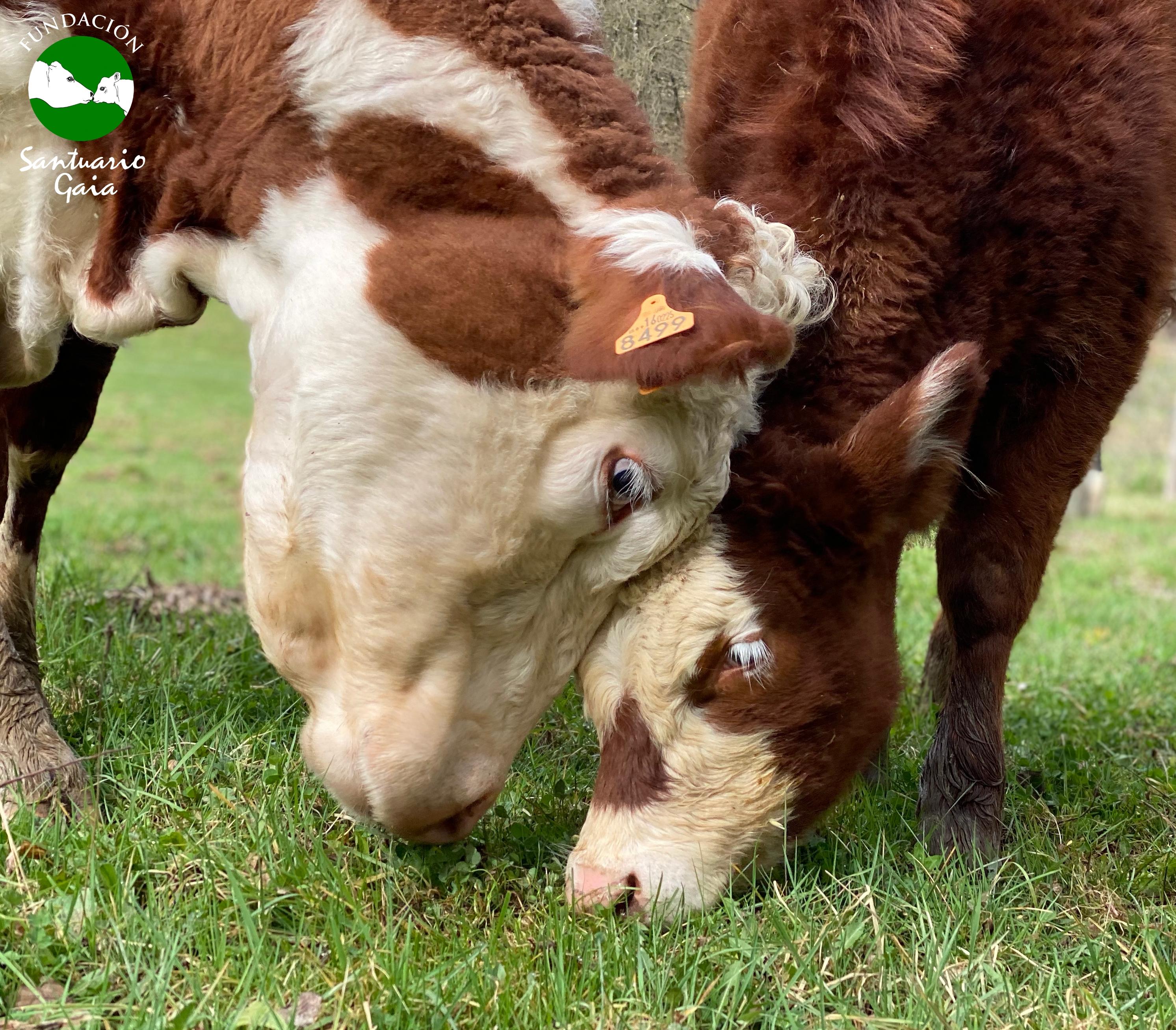 La vaca Ramona y su hija Zuriñe rescatadas por el refugio de animales Santuario Gaia situado en Camprodon