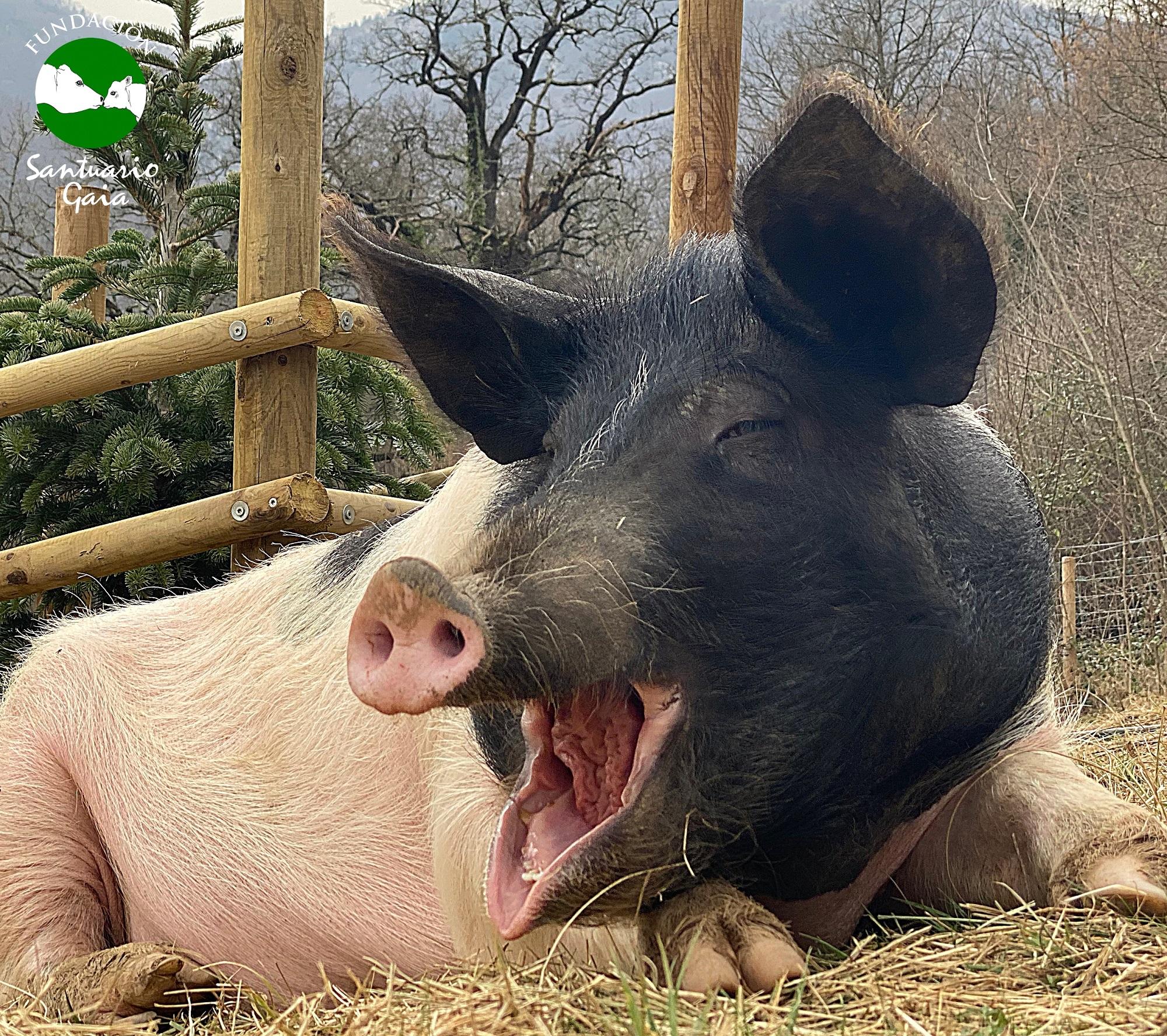 El cerdo rescatado Liam descansa en el refugio de animales Santuario Gaia situado en Camprodon